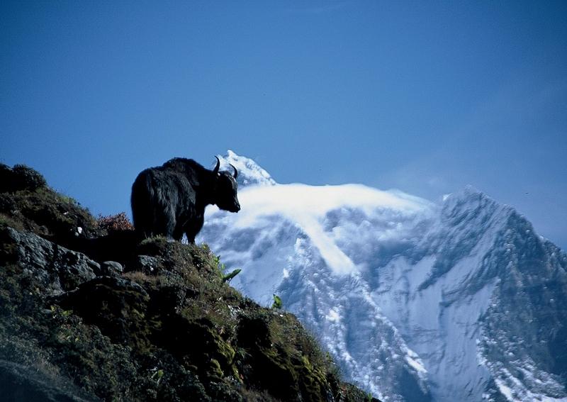 Himalaje, dolina Khumbu, sylwetka jaka